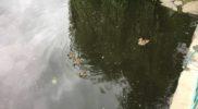 Duck Chariot