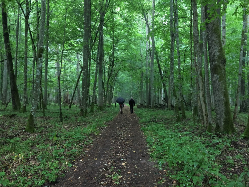 Strolling Through the Forest, Bialowieza Forest, Poland