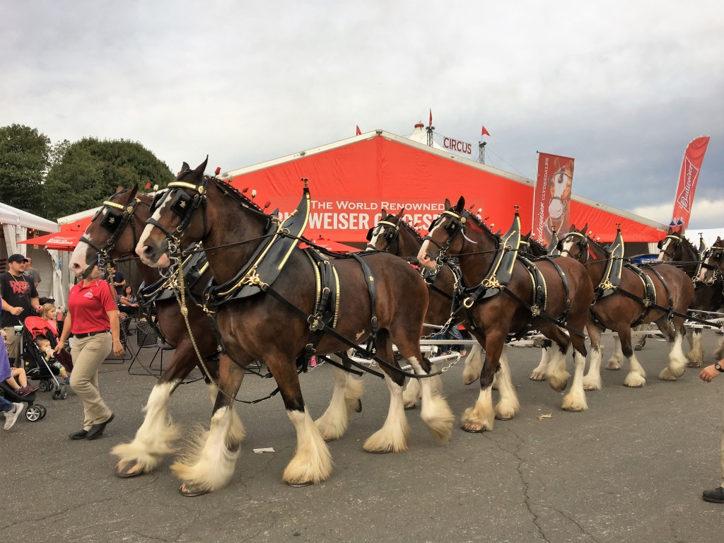 Budweiser Clydesdales at the Big E, Springfield, Mass.