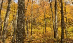 Maubeche Trail Golden Fall Color, Jacques Cartier National Park, Canada