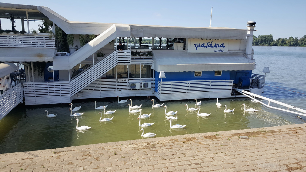 Swans Waiting for Handouts, Belgrade, Serbia